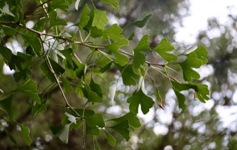 Insights from Nature: Ginkgo