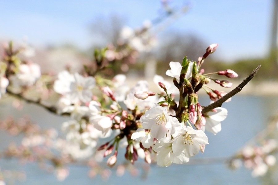 The 2016 National Cherry Blossom Festival has cherry trees in East and West Potomac Park, as well as on the Washington Monument grounds.