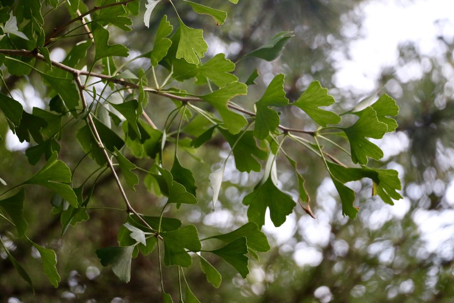 The Ginkgo tree provides health benefits, and is commonly planted in cities due to its resilience to industrial pollution.