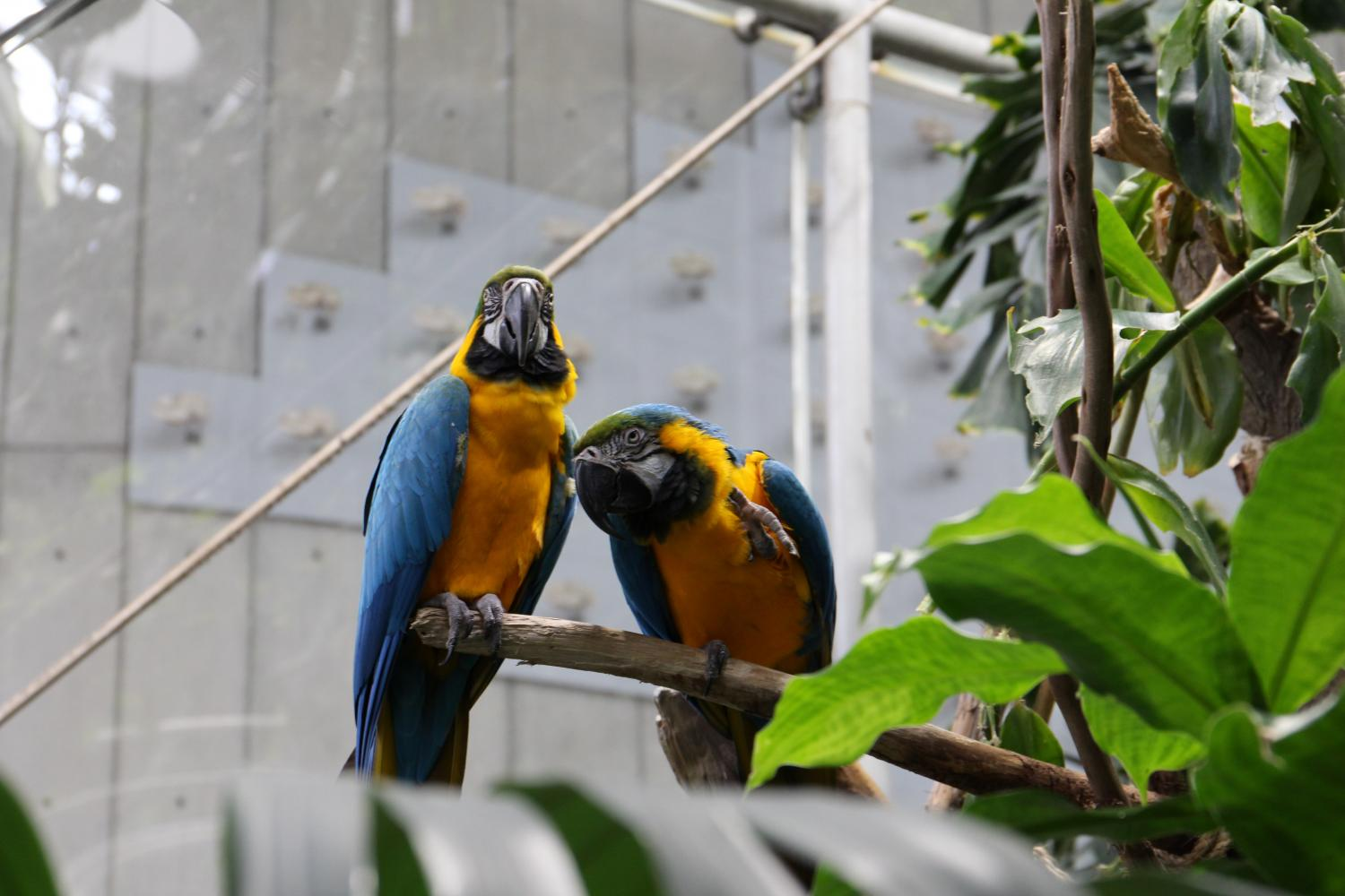The macaw, long-tailed, colorful birds inhabiting forested areas, is the only species that fly freely in the Rainforest Dome.