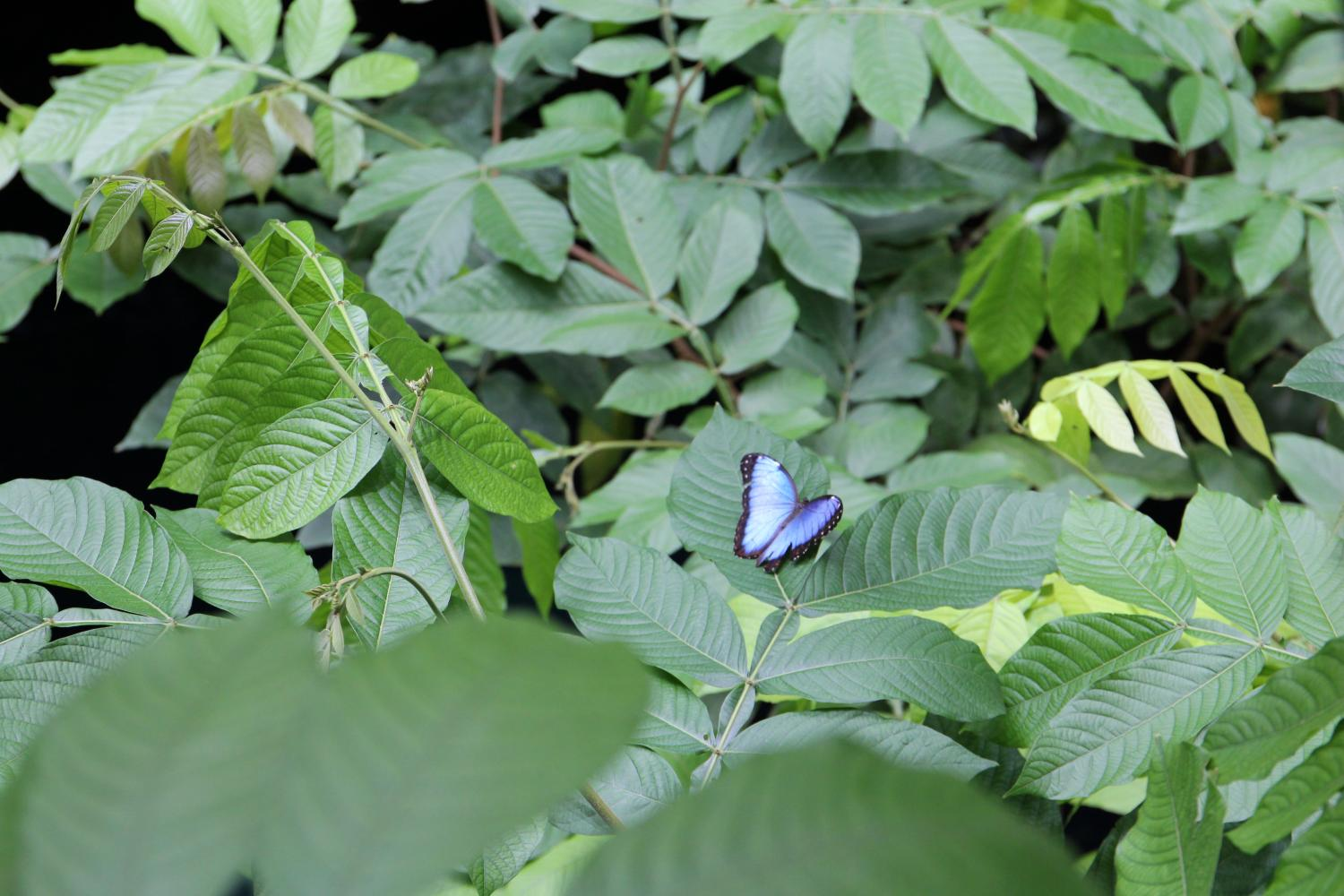 The spring butterflies within the Institute's Osher Rainforest have unique patterns of colors and shapes on their wings, often attracting other butterflies and camouflaging with the tropical flowers within the exhibit.