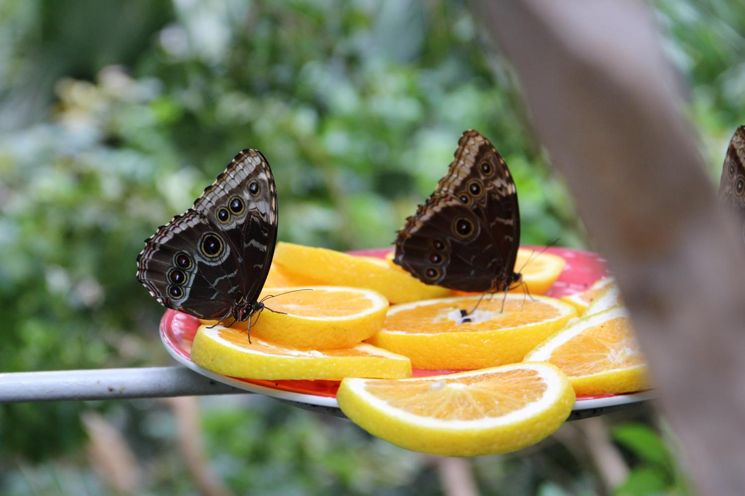 The butterflies within the glass dome of the Rainforest Exhibit are fed at each level with various types of citrus fruits.