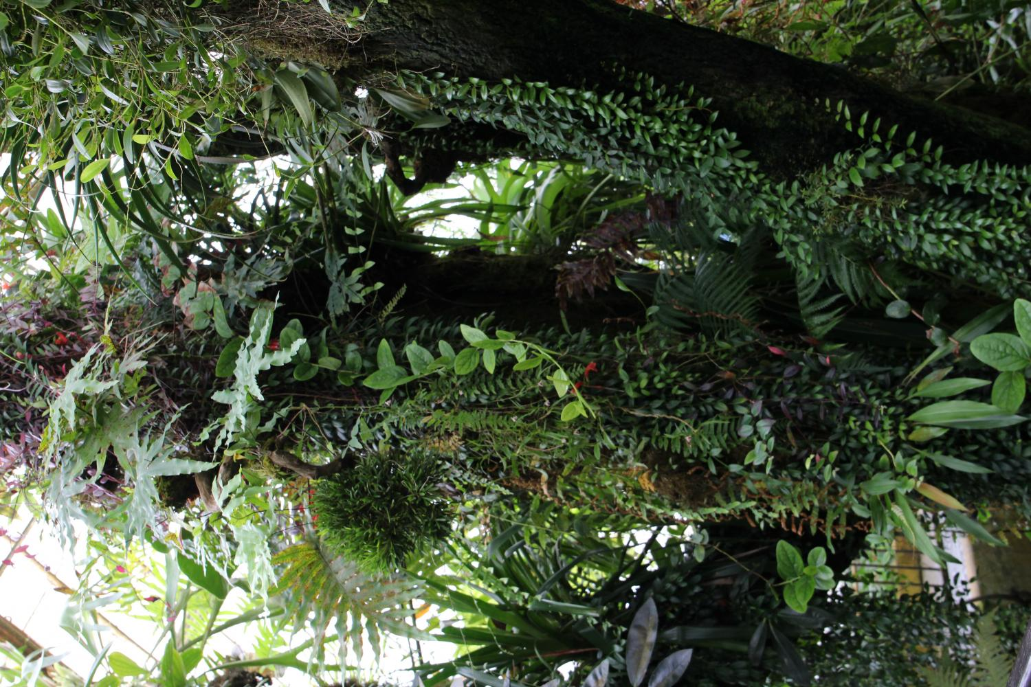 The Highland Tropics of the Flowers Conservatory presents a tropical setting in which high-altitude orchids, tree ferns, and dense mosses seek shelter in water-rich soil and foggy atmosphere.