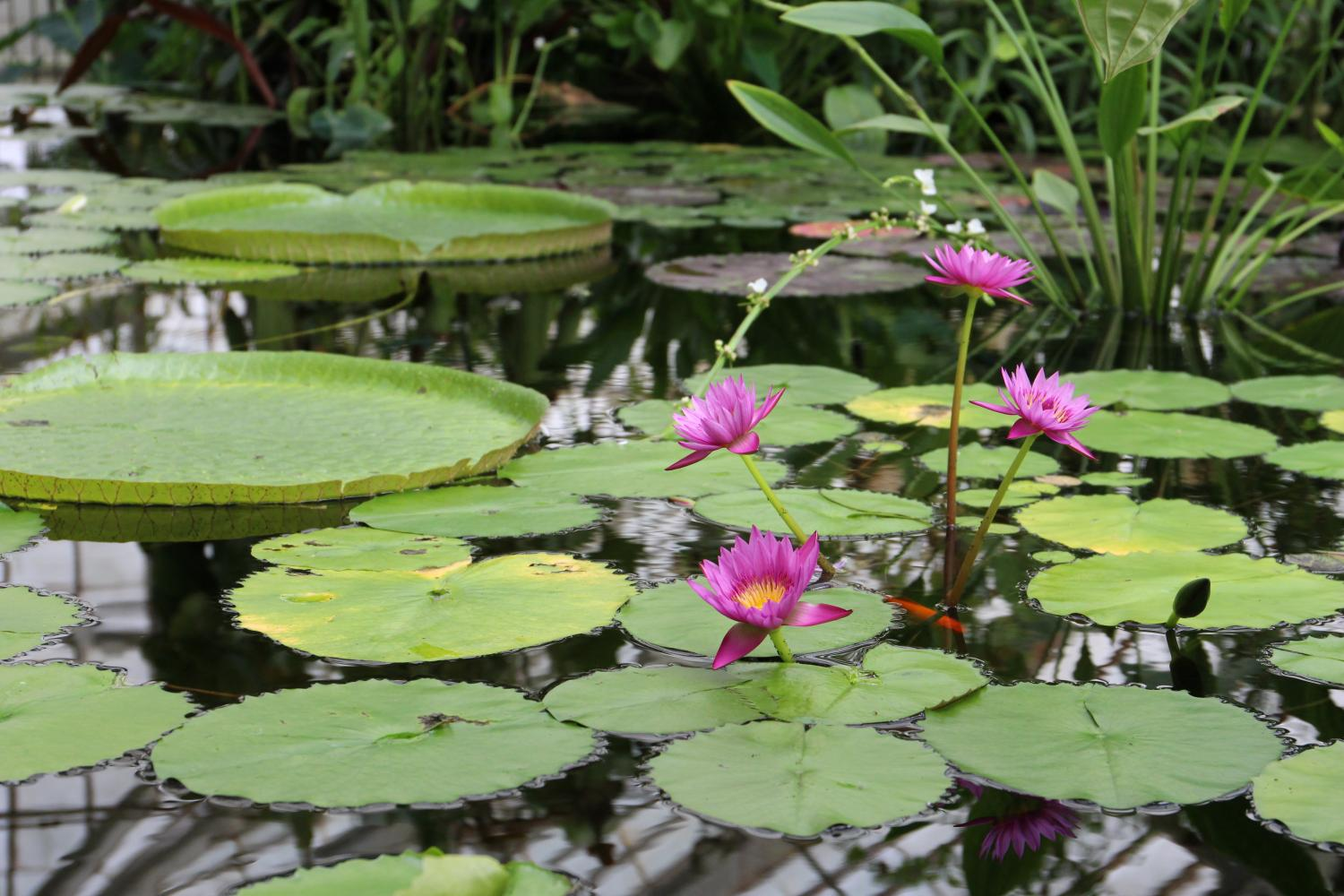 One of the thriving organisms in the aquatics in the Conservatory of Flowers, the water lily are rooted in the soil on the bottom of small bodies of water.