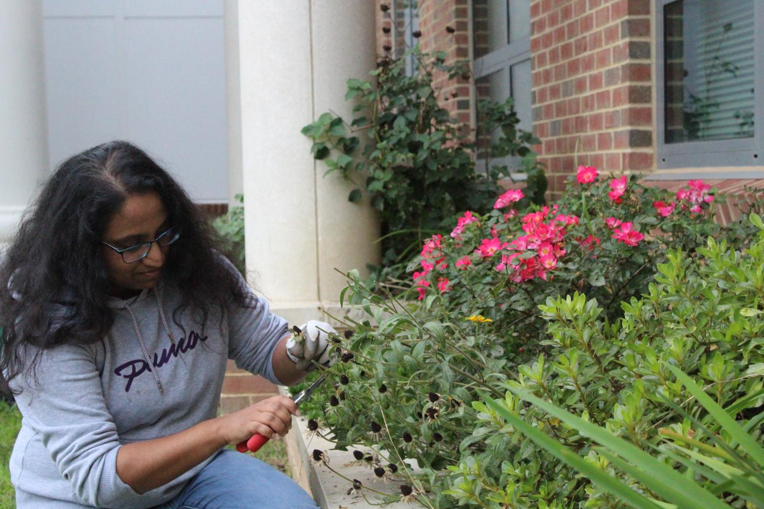During Cultivators of the Earth's weekly meeting, senior Gopika Pillai uses a plier to cut the tips of dead flowers among the rose pink garden.