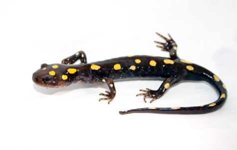 Salamander IBET spring field trips may be cancelled