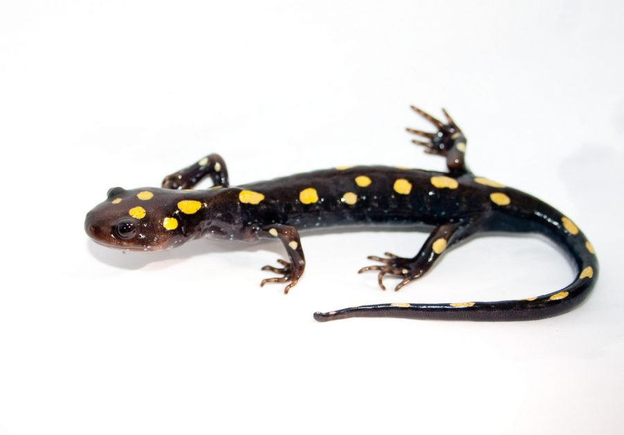 The salamander IBETs may lose their spring trips to the government shutdown. Image courtesy of Flickr acquired through Creative Commons.