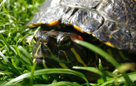 This is a red-eared slider, a turtle of the same species as Ollie the turtle.