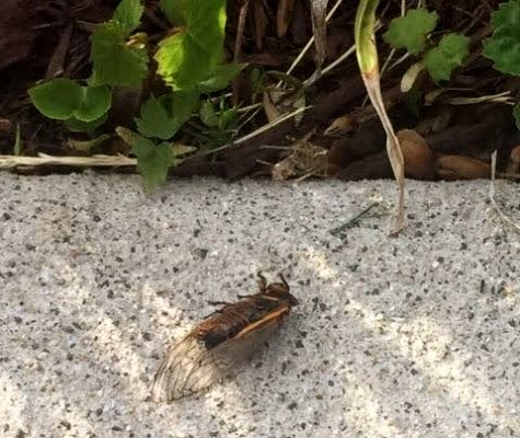 One cicada crawls ahead of the pack, already completing the last stage of its life cycle: perpetuating the population.