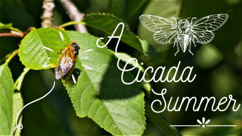A Cicada Summer